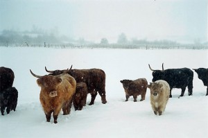 scottish_cattle